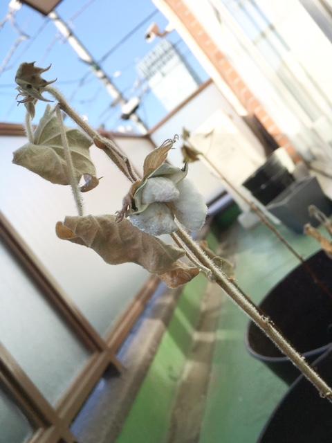 綿花を育てています 4